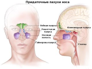 Анатомия гайморовых пазух